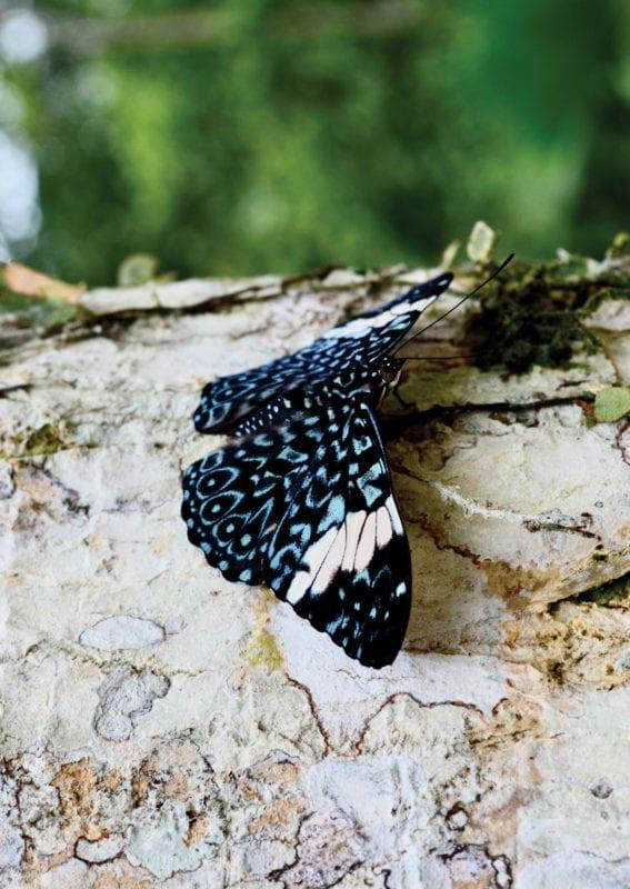 Mariposa en el Oriente