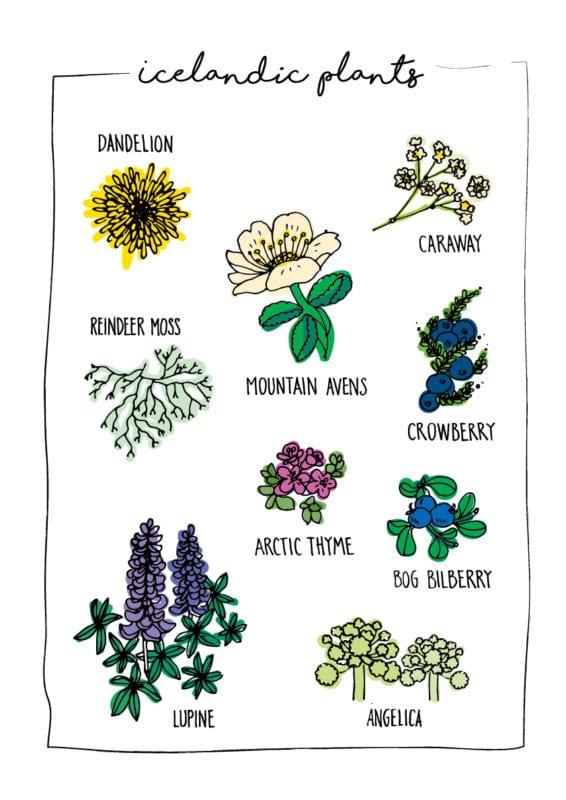 Icelandic Plants